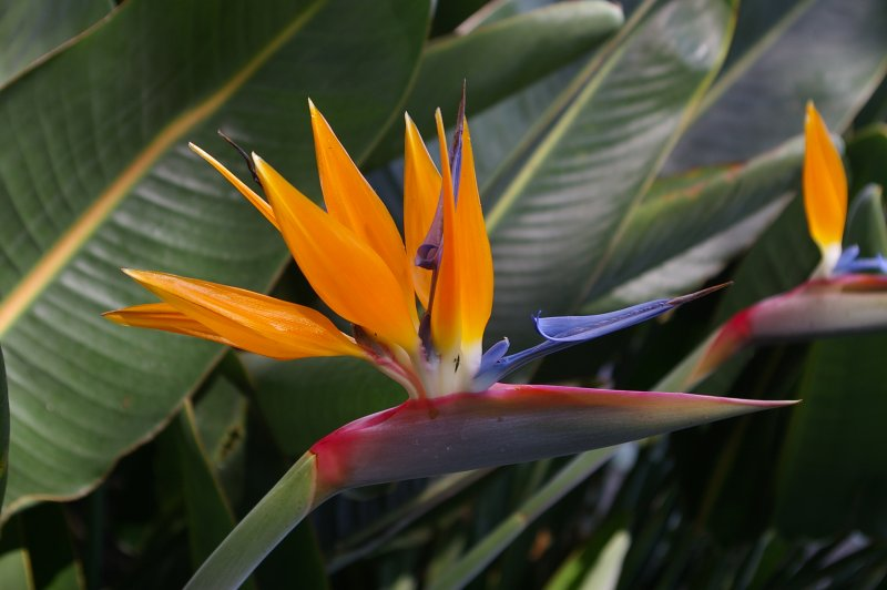 Bird of Paradise Plant in hotel grounds